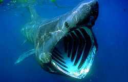 basking sharks cetorhinus maximus marinebio org