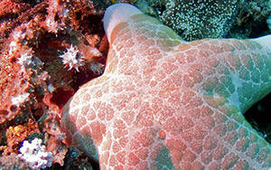 Sea star, Lembei Strait, Suluwesi, Indonesia 2006