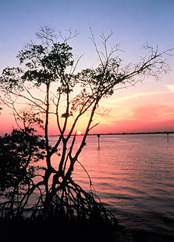 Bosques de manglares