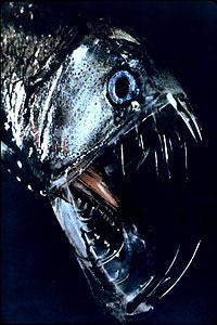 Deep sea viperfishes