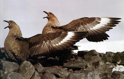 Skua gulls