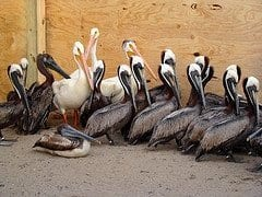 Gulf oil spill victims: brown pelicans recovering