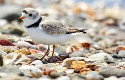 piping plover charadrius melodus nt