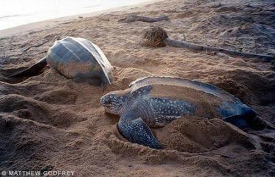 Leatherback Sea Turtles, Dermochelys coriacea