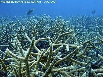 Staghorn coral, Bonaire - Aug, 2004