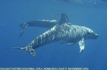 roughtooth dolphins, honduras