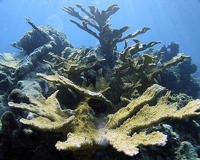 Elkhorn coral, Bonaire August, 2004