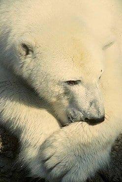 Ursus maritimus, Polar Bears
