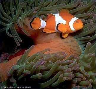 Clown anemonefish, Amphiprion ocellaris