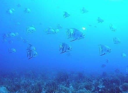 spadefish Florida