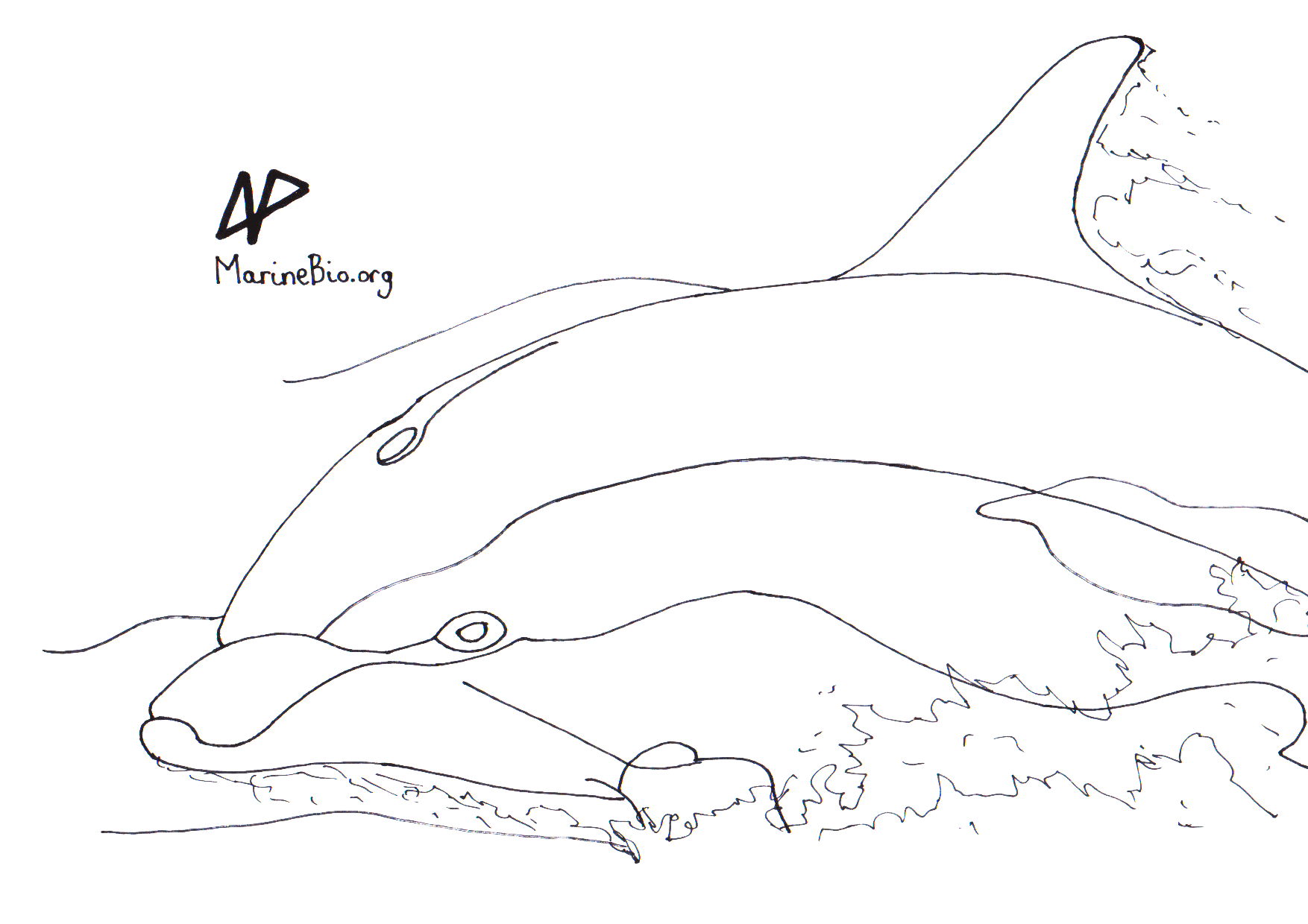 coloring sketch dolphin marinebio