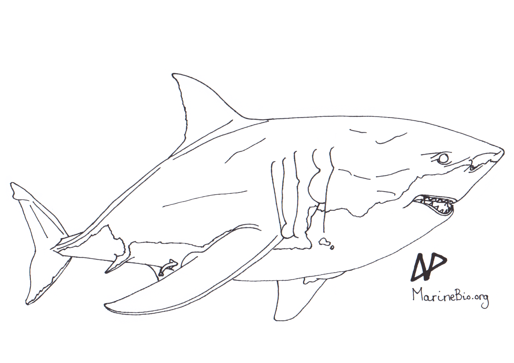 coloring sketch great white shark marinebio