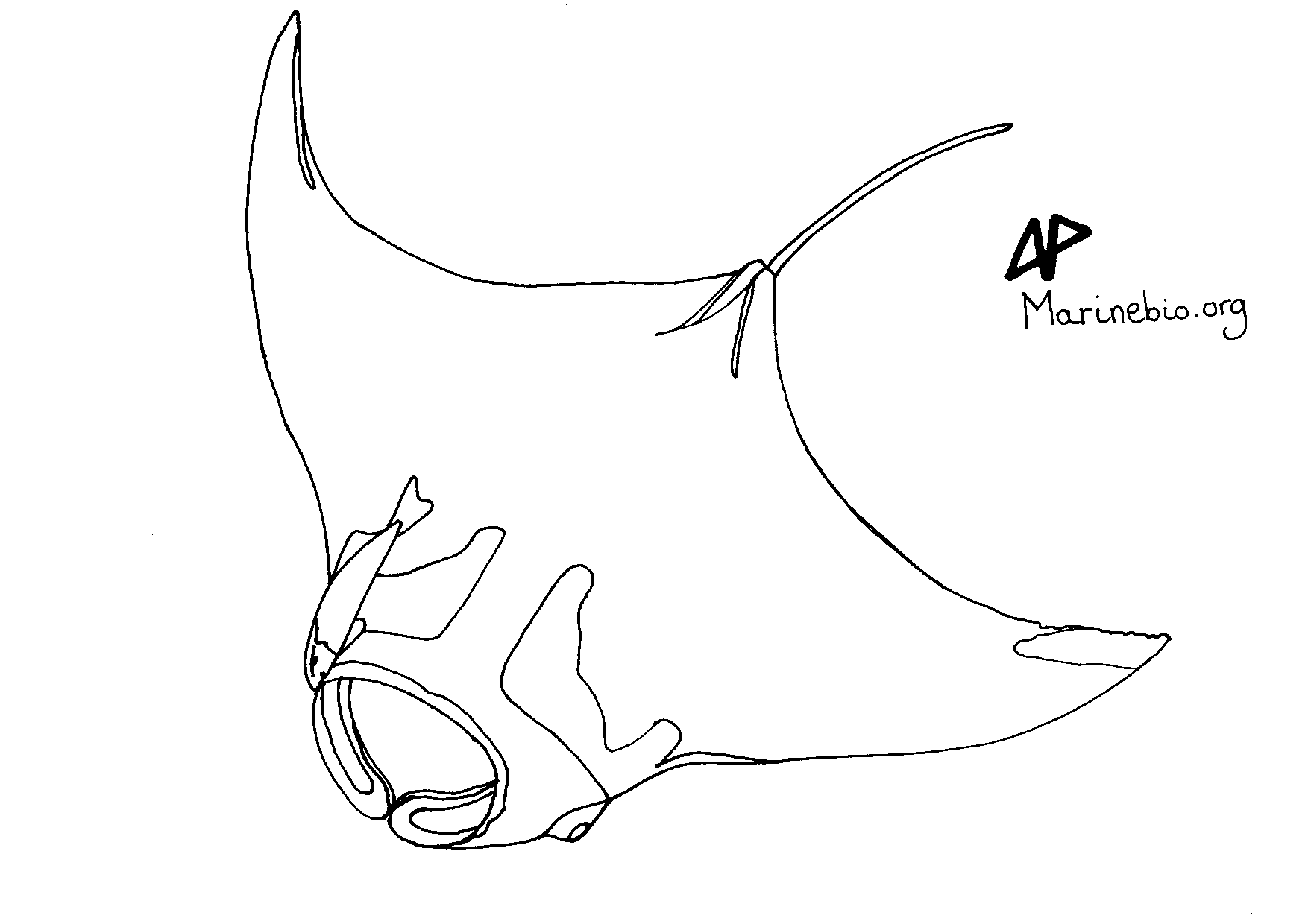 coloring sketch manta ray marinebio