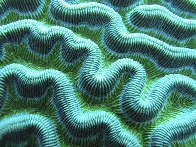 brain coral closeup