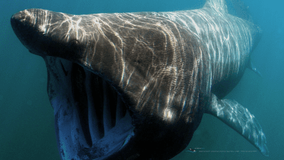 MB-basking-shark-wallpaper