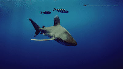 MB-oceanic-whitetip-wallpaper