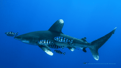 MB-oceanic-whitetip2-wallpaper