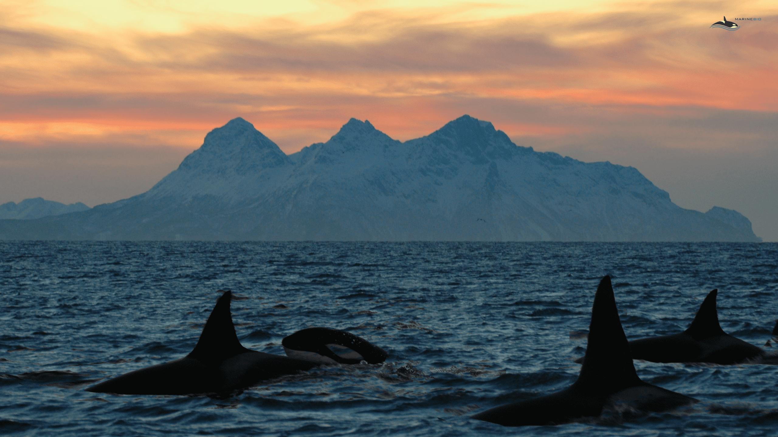 MB-orca-sunset-wallpaper