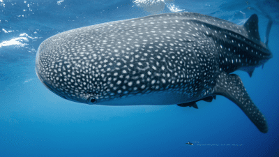 MB-whaleshark-wallpaper
