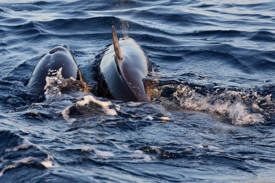 Courting dolphins