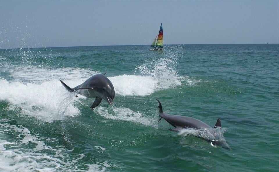 Dolphins riding a bow wave