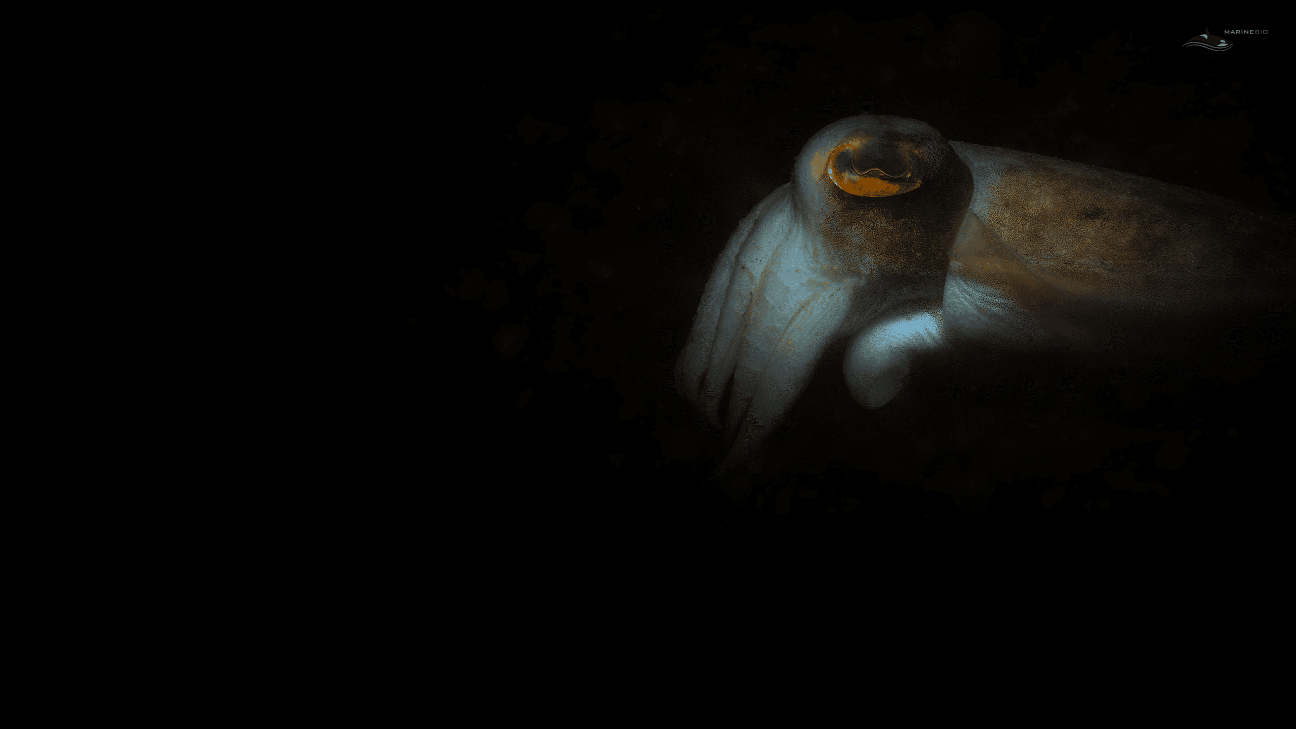 MB-cephalopods-wallpaper7
