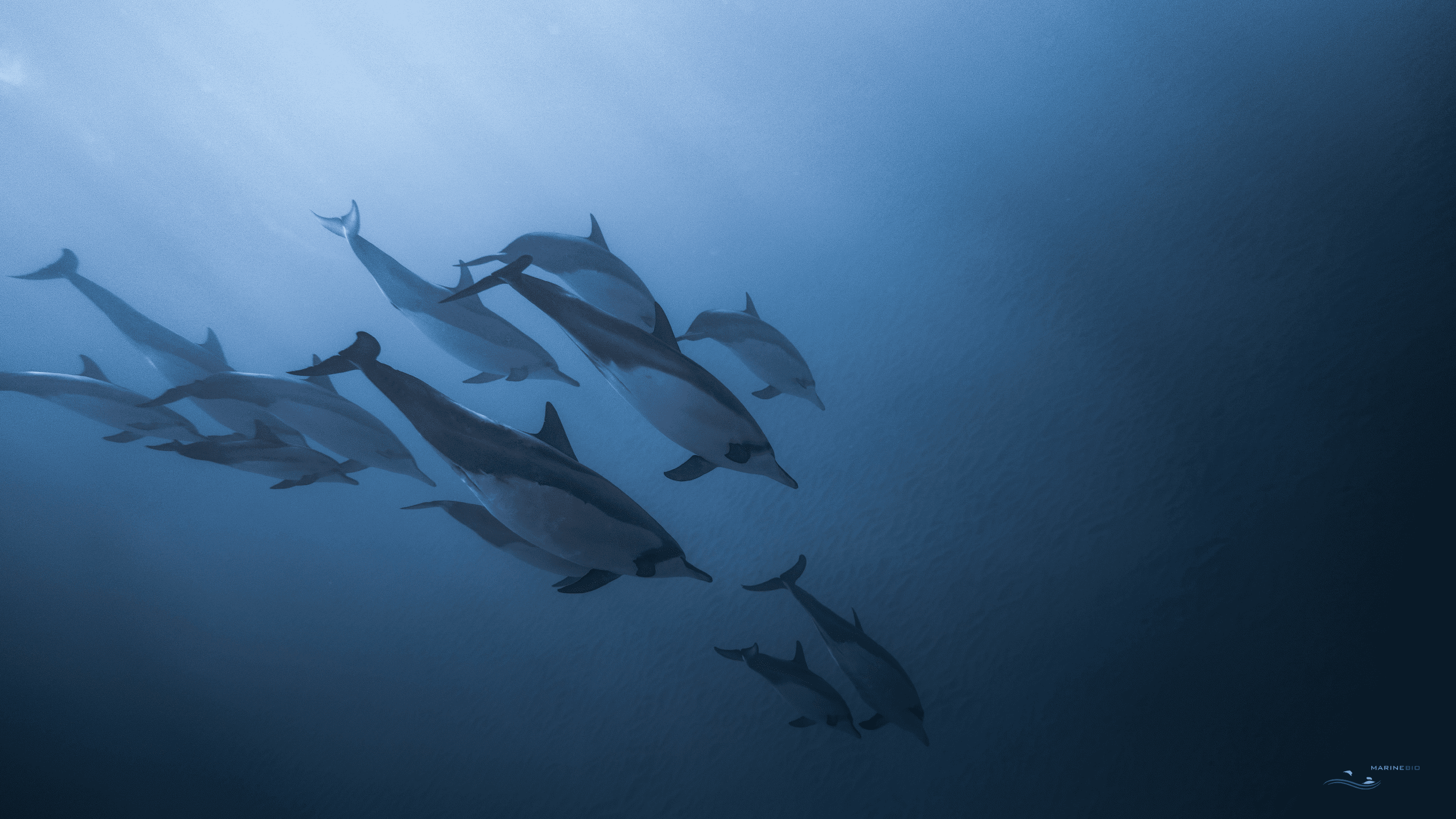 MB-dolphins-wallpaper6