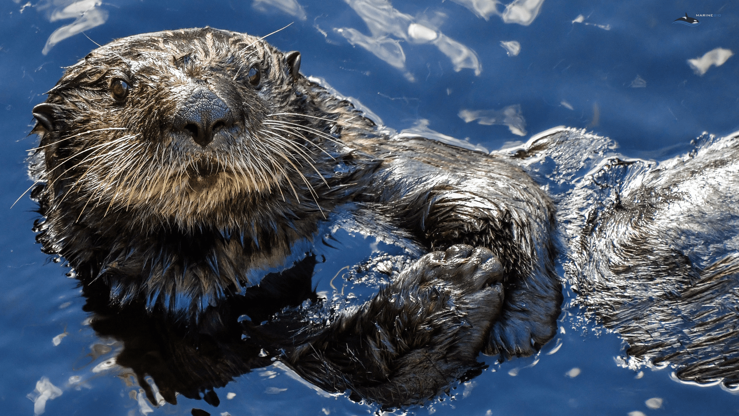 MB-otters-wallpaper6
