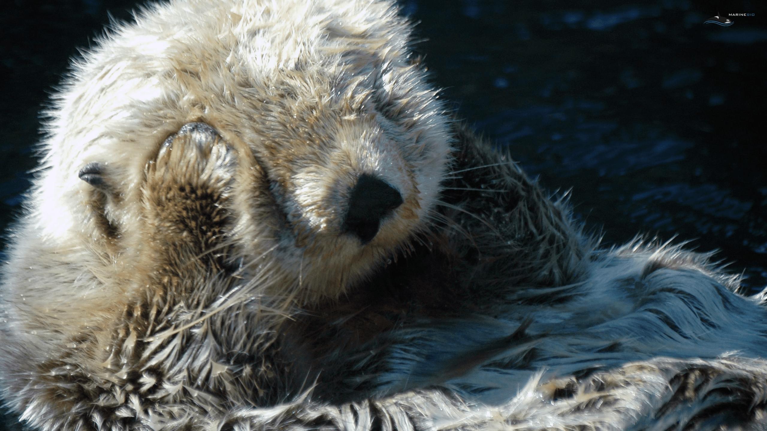 MB-otters-wallpaper8