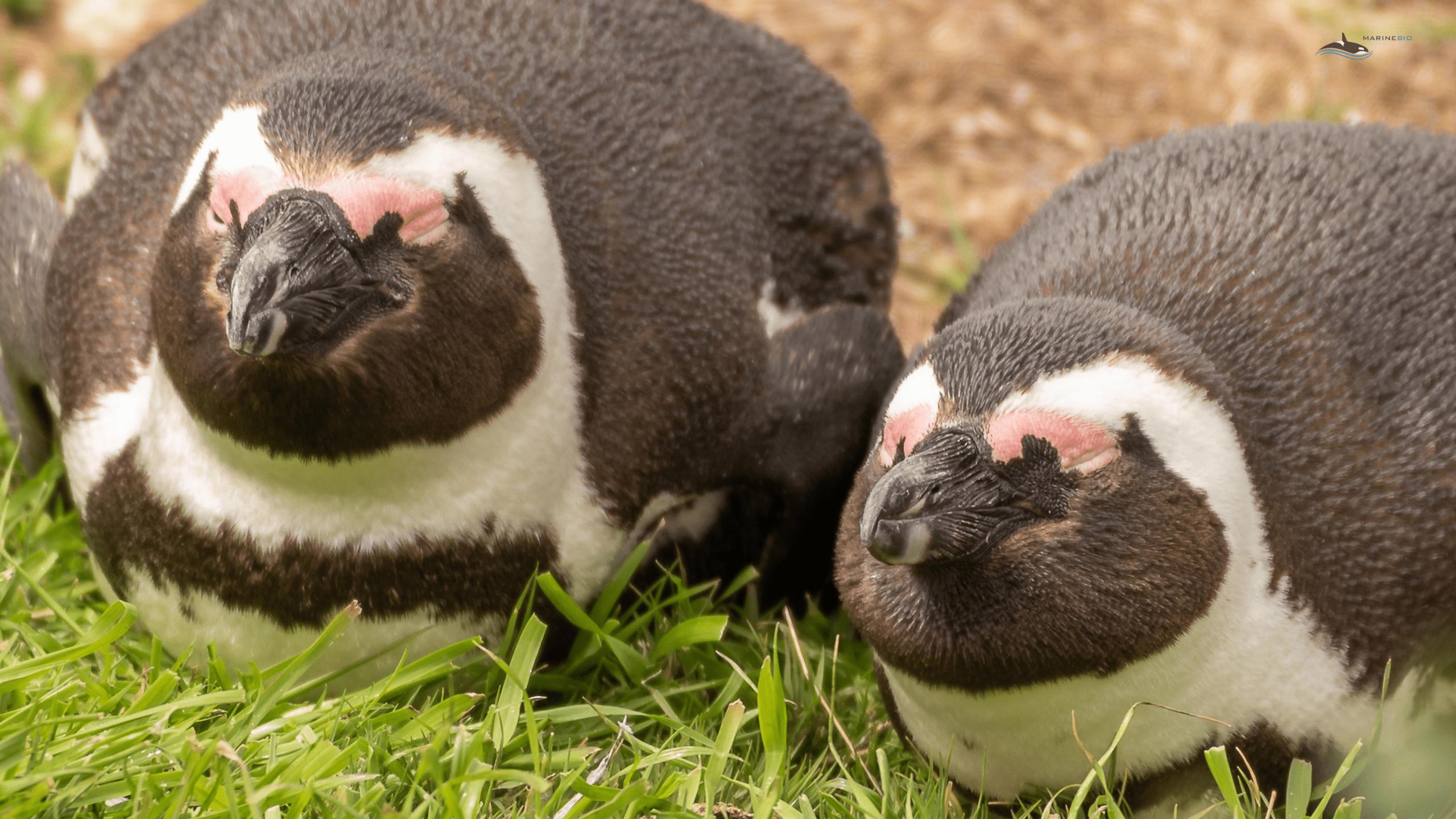 MB-penguins-wallpaper1