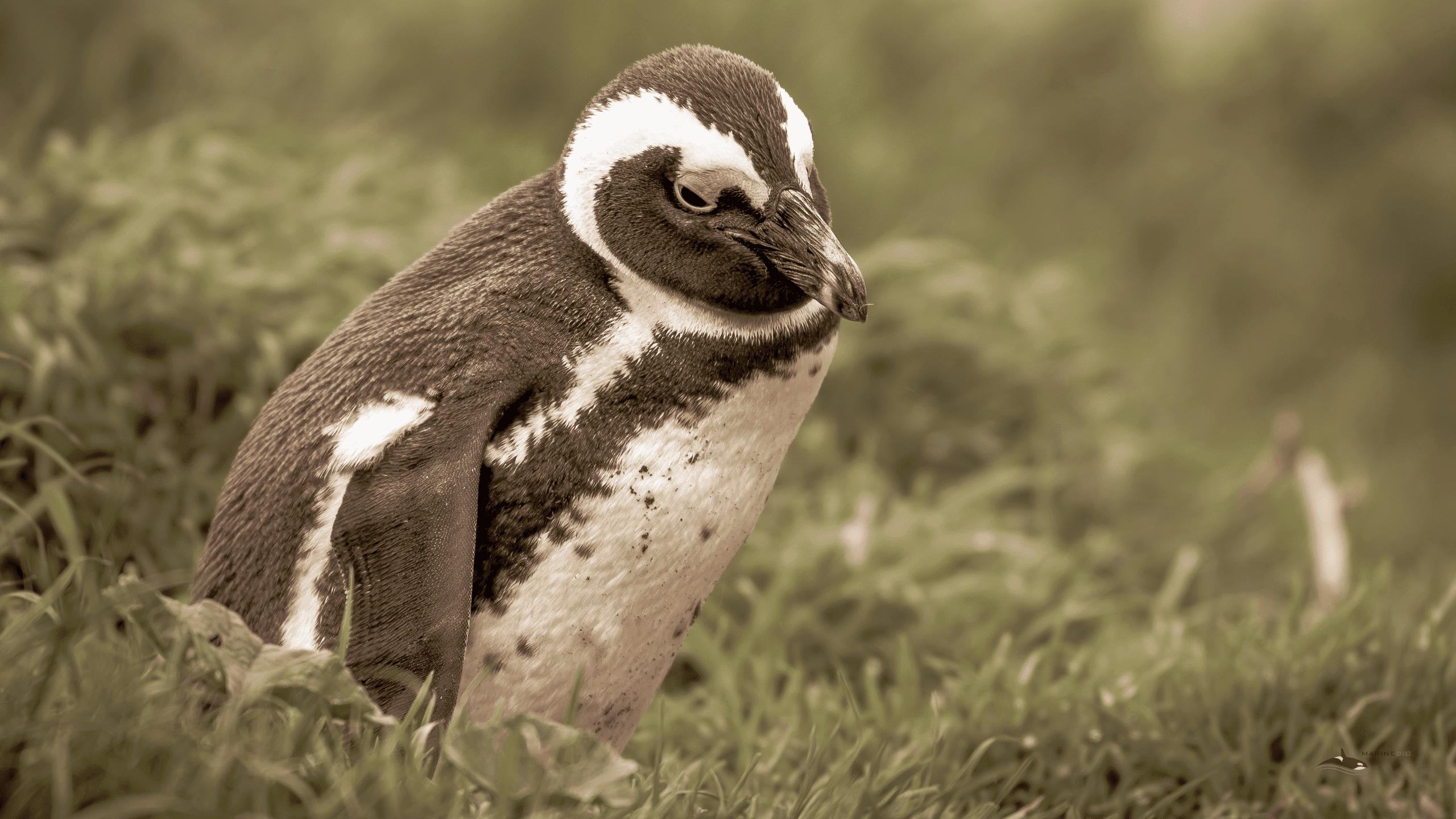 MB-penguins-wallpaper2