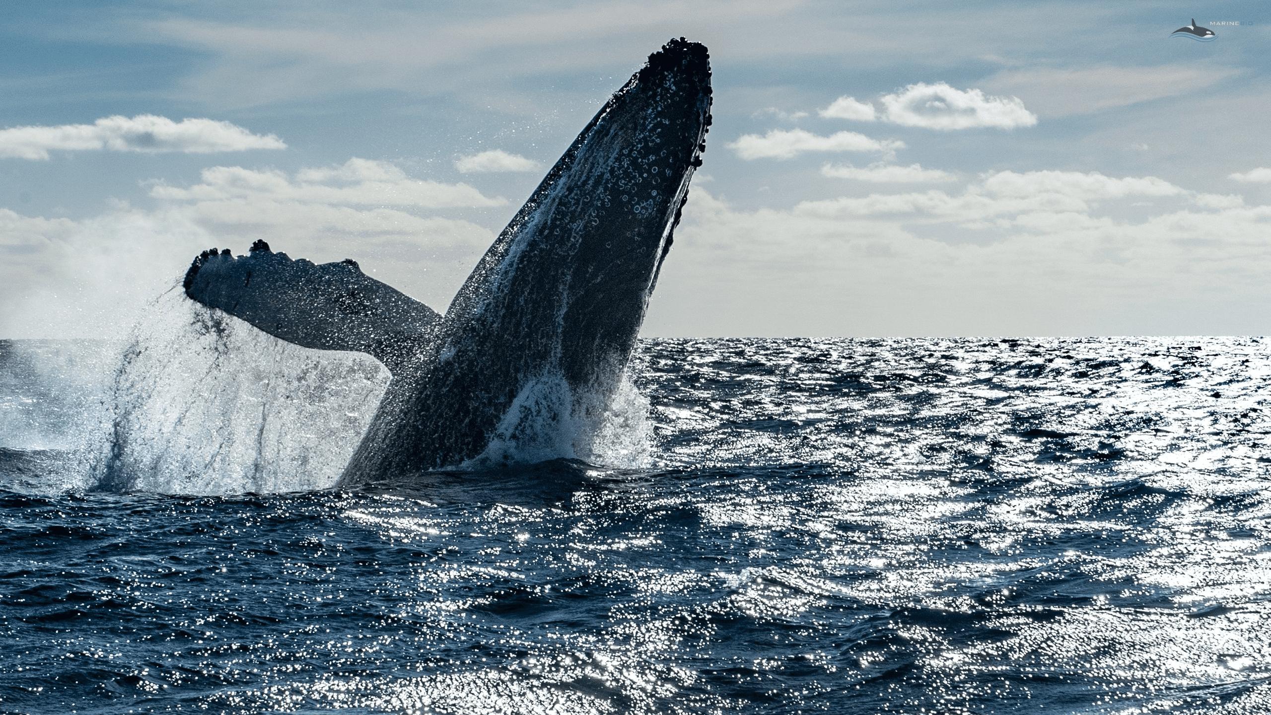 MB-whale-wallpaper2