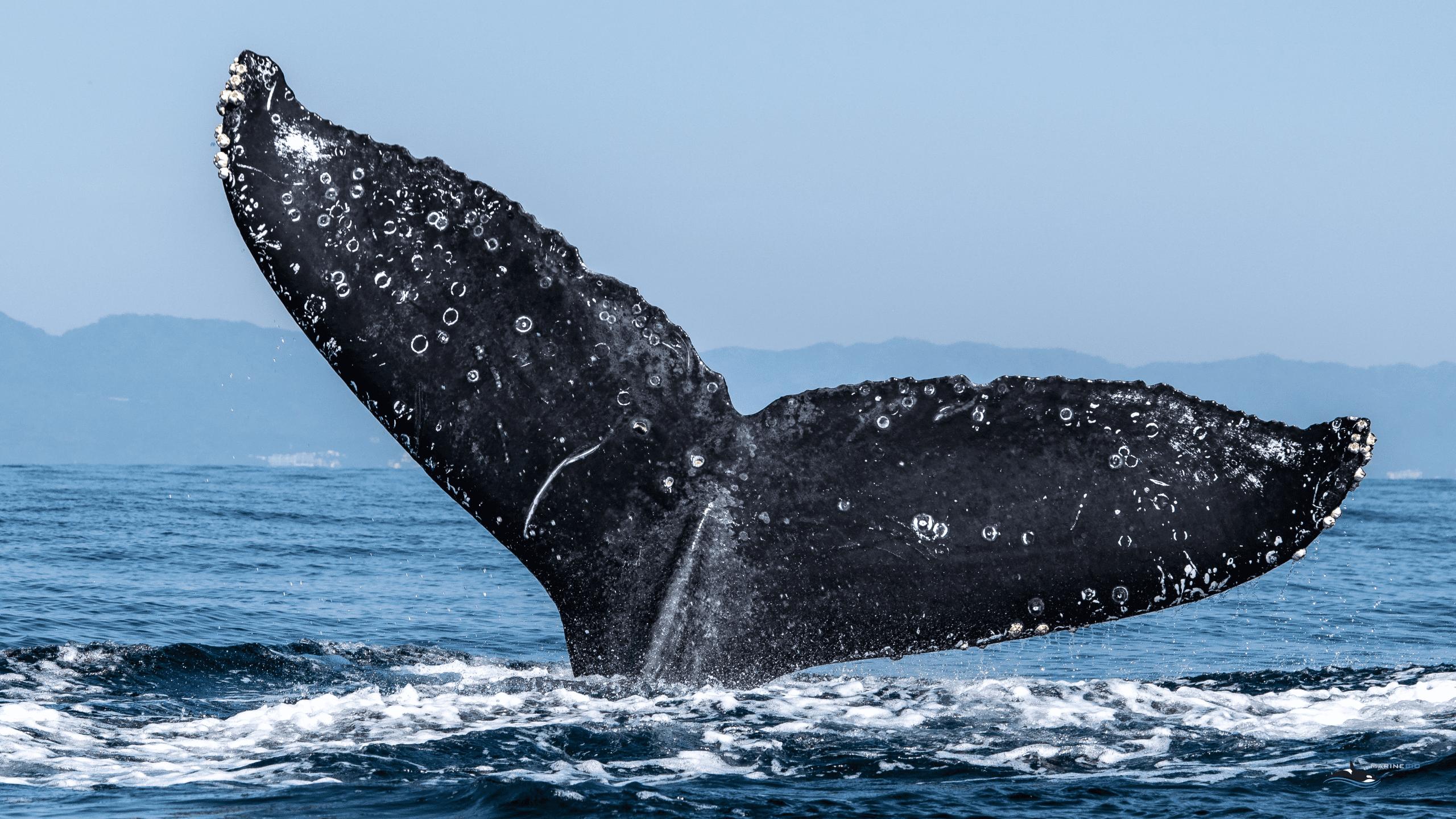 MB-whale-wallpaper8