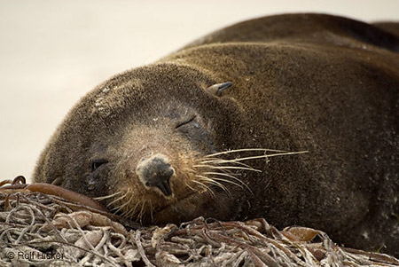 New Zealand fur seal, Rolf Hicker Nature Photography