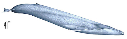 Blue whale - Balaenoptera musculus