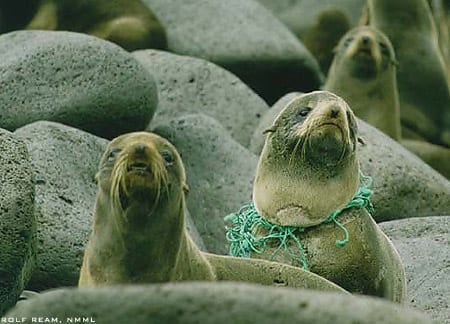 Callorhincus ursinus, Northern fur seals