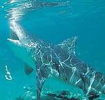 Bull shark - Carcharhinus leucas