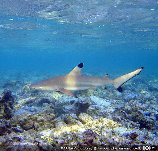 Blacktip Reef Sharks ~ MarineBio Conservation Society