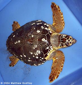 Loggerhead Sea Turtles ~ MarineBio Conservation Society