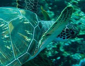 Green Sea Turtles ~ MarineBio Conservation Society
