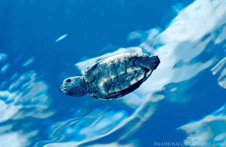 Hawksbill Sea Turtles ~ MarineBio Conservation Society