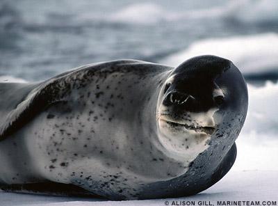 Leopard seals, Hydrurga leptonyx