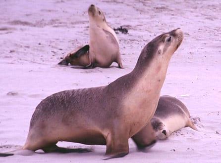 Australian Sea Lions ~ MarineBio Conservation Society