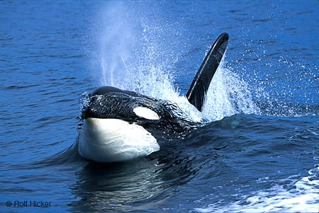 Orca photos, Rolf Hicker Nature Photography