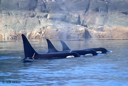 Killer whales, Orcinus orca, Rolf Hicker Nature Photography