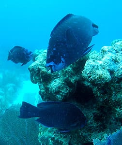 Midnight parrotfish, Scarus coelestinus