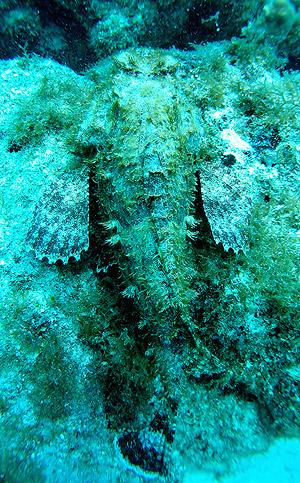 Spotted scorpionfish, Scorpaena plumieri