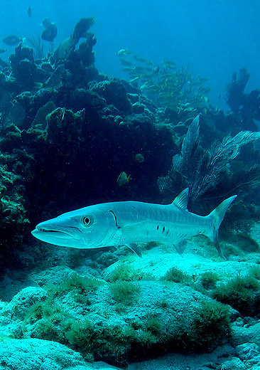 Great barracuda - The Keys, FL, USA (2005)