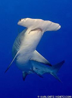 90f3becbbd Great Hammerhead Sharks ~ MarineBio Conservation Society