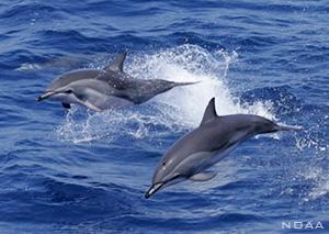 Clymene dolphins, Stenella clymene
